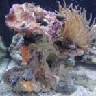 Roche 9004 pour aquarium récifal
