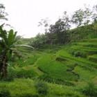 Bali - rizières en terrasses - paddy field