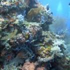 Bali - coraux - corals - 1